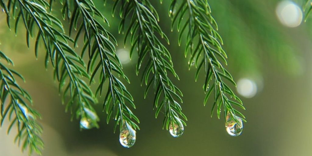 dew drops on pine leaves